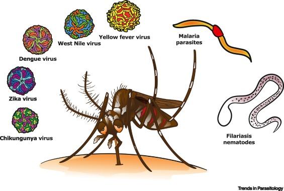Mosquitos transmit diseases in San Angelo